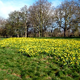 Daffodils at the eastern end of Cassiobury Park, Watford, Hertfordshire, UK