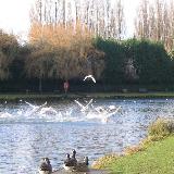 Ducks landing on Cwmbran 'Boating' Lake at Llanyrafon