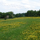 : They Call Me Yellow Meadow Quite right. Buttercups in bloom in the meadow through which the footpath from the north of Rhosllanerchrugog to Pentre Bychan leads. (Apologies to Donovan.)